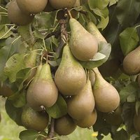 Conference Pear Patio Fruit Tree Bare Root 1.2m Tall