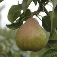 Doyenne du Comice Pear Patio Fruit Tree in a 5L Pot 1.2m Tall