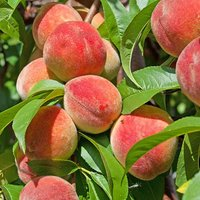 "Peach ""Redhaven"" bare root tree"