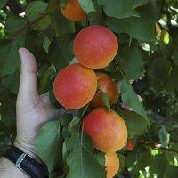 Apricot Tomcot tree 4.5L 1M+ talll