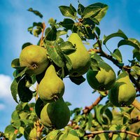 Concorde Pear Patio Fruit Tree in a 5L Pot 1.2m Tall
