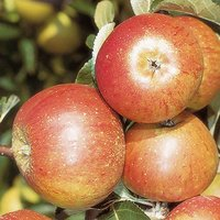 Cox's Orange Pippin Apple Patio Fruit Tree in a 5L Pot 1.2m Tall