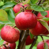 Discovery Apple Patio Fruit Tree in a 5L Pot 1.2m Tall