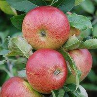 Gala Apple Patio Fruit Tree in a 5L Pot 1.2m Tall