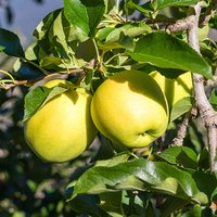 Golden Delicious Apple Patio Fruit Tree in a 5L Pot 1M Tall