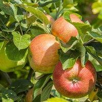 """Apple tree """"James Grieve"""" on M26 5L pot 1.2M tall"""