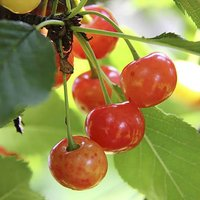 Bigarreau Napoleon Cherry Patio Fruit Tree in a 5L Pot 1.2m Tall