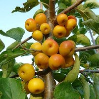 Crab Apple Golden Hornet Patio Fruit Tree in a 5L Pot 1.2m Tall