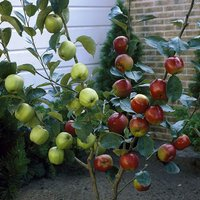 Apple Patio Duo Fruit Tree - Bramley and Braeburn on 1 Bare Root Tree