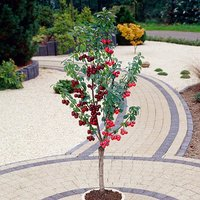 Stella & Morello Cherry Patio Fruit Tree - 2 Varieties on 1 Bare Root Tree