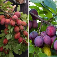 Victoria & Czar Plum Patio Fruit Tree - 2 Varieties on 1 Bare Root Tree