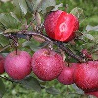 Premium Apple Tree