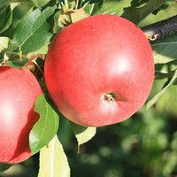 Apple Red Sun Patio Fruit Tree Bare Root 50cm Tall