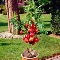 Nectarine Garden Beauty Patio Fruit Tree Bare Root