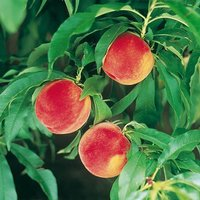 Peach Amber Patio Fruit Tree Bare Root