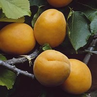 Apricot Aprigold Patio Fruit Tree Bare Root