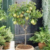 Pear Garden Pearl Patio Fruit Tree Bare Root 1.2m Tall