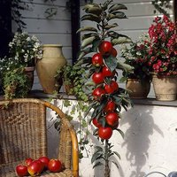 Apple Column Patio Fruit Tree 'Red Sensation' in a 5L Pot 80cm Tall