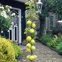 Apple Column Patio Fruit Tree 'Gold Sensation' in a 5L Pot 80cm Tall