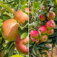 Apple Patio Duo Fruit Tree - Bramley and Braeburn on 1 Potted Tree 3L