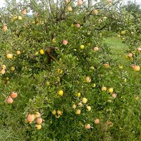 Apple 'Sweet Summer' 1.5L pot