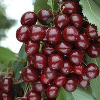 NEW Cherry Bush Porthos' 3L