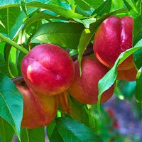 Patio Perfect Dwarf Patio Nectarine Tree 4L pot