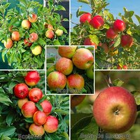 Five Variety Family Apple Tree 7L potted