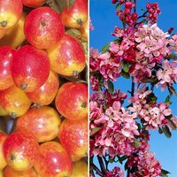 Pair Crab Apple Trees bare root 1.2m - red & yellow