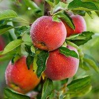 Apple 'Red Love' 1-1.2M pot 23