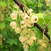 Whitecurrant Fruit Bush 'White Versailles' in a 3L Pot