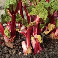 Summer-long Rhubarb 'Livingstone' plant in 9cm pot