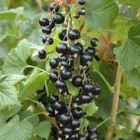 Blackcurrant Big Ben Fruit Bush in a 3L Pot