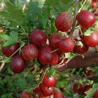 Premium Gooseberry 'Captivator' (red) Fruit Bush in a 3L Pot - Grow Your Own