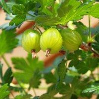 Premium Gooseberry Invicta Fruit Bush in a 3L Pot - Perfect for Cooking