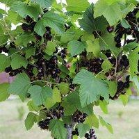 Standard Blackcurrant 'Ben Lomond' bare root