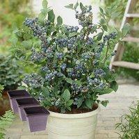 3 Blueberry Plants, Planters and Fertiliser bundle