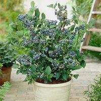 3 Blueberry Plants & 3 x 17cm planters