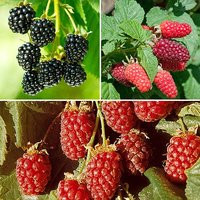 Hybrid Berry Fruit Collection set of 3 x 9cm