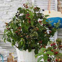 Patio Blackberry Little Black Prince 5L