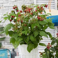 Patio Raspberry Little Red Princess 5L