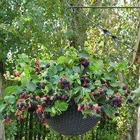 Blackberry Black Cascade 2L