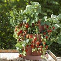 4 Strawberry Grow In Pods & 4 'Buddy' plants