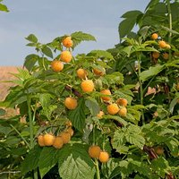 Premium Raspberry All Gold Fruit Plants - Pack x 5 Canes to Grow Your Own