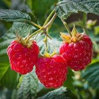 Premium Long Cane Raspberry