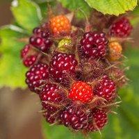 Japanese Wineberry Fruit Bush in a 2L Pot - Tastes Like a Raspberry!