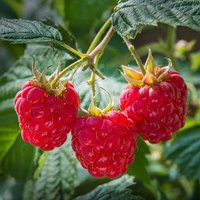 Raspberry Tulameen 2L