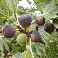 French Fig 'Rouge de Bordeaux' Fruit Plant - Grow Your Own Edible Fruit 2L pot