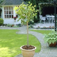 The Chelsea Fig Fruit Tree in a 4L Pot to Grow Your Own Edible Fruit