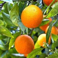 'Mandarin' Citrus Tree 6L